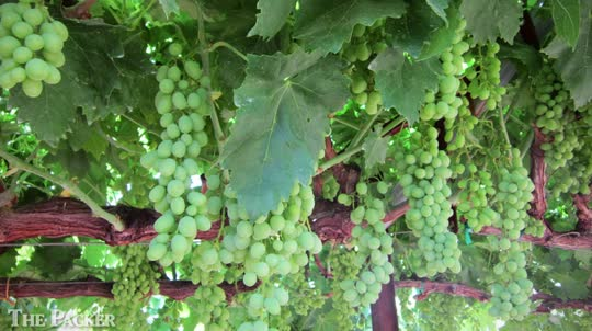 California grape growers expect record crop
