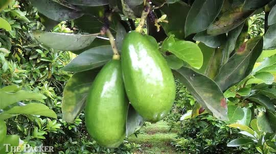 Florida ramps up for summer avocados